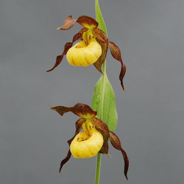 Cypripedium Hank small