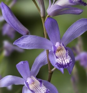 Bletilla striata soryu blue dragon