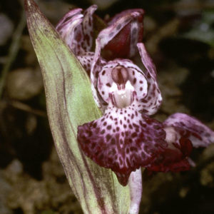 Orchis wardii