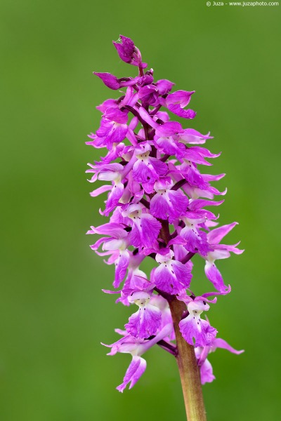 orchis-mascula