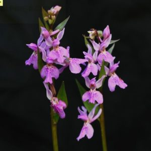Orchis chusua